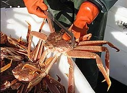 Prince William Sound Could Get First Commercial Tanner Crab Fishery Since 1995 (Fish Radio)